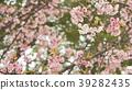 벚꽃 39282435