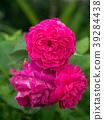 Pink rose petals for rose tea 39284438