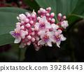 Medinella magnifica flower 39284443