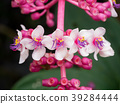 Medinella magnifica flower 39284444