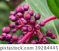 Medinella magnifica seeds 39284445