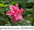 Close up of pink Hibiscus flower. 39284446