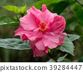 Close up of pink Hibiscus flower. 39284447
