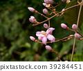 Medinella magnifica flower 39284451