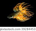 Siamese fighting fish 39284453