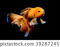 Goldfish in the aquarium 39287245