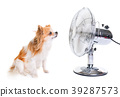 chihuahua and fan 39287573