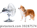 chihuahua and fan 39287574
