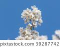 樱花 樱桃树 吉野樱花树 39287742