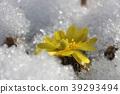 從雪出來的早春黃色Fukujugusa 39293494
