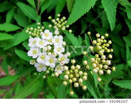 Kodemari Flower 39296107