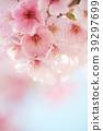 ดอกซากุระบาน,ซากุระบาน,ฤดูใบไม้ผลิ 39297699