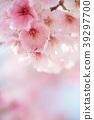 ดอกซากุระบาน,ซากุระบาน,ฤดูใบไม้ผลิ 39297700