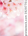 ดอกซากุระบาน,ซากุระบาน,ฤดูใบไม้ผลิ 39297701