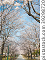 cherry blossom, cherry tree, yoshino cherry tree 39298720