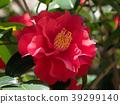 ดอกไม้,คาเมลเลีย,ไม้ 39299140