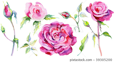 Wildflower rose flower in a watercolor style 39305200