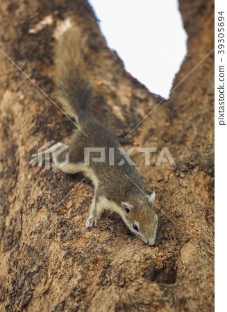 Eastern Grey Squirrel (Sciurus carolinensis)  39305694