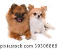 pomeranian spitz and chihuahua 39306869