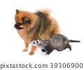ferret and spitz 39306900
