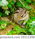 동물, 다람쥐, 얼룩다람쥐 39313398