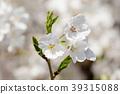 樱花 樱桃树 吉野樱花树 39315088