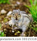 동물, 다람쥐, 녹색 39315316