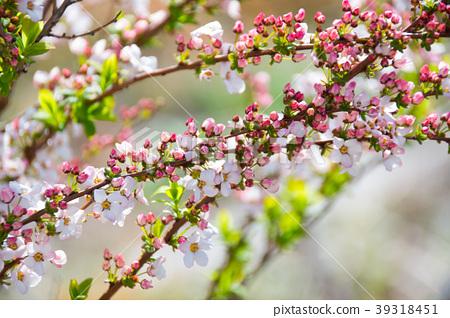핑크 조팝 나무의 꽃 · 잎 · 꽃 봉오리 39318451