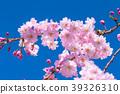 cherry, blossom, tree 39326310