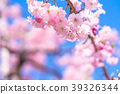 cherry, blossom, tree 39326344