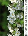 조팝나무, 장미과, 봄 39332690