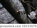 cherry blossom, cherry tree, yoshino cherry tree 39333676