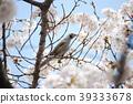 cherry blossom, cherry tree, yoshino cherry tree 39333678
