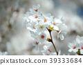 cherry blossom, cherry tree, spring 39333684