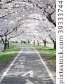 cherry blossom, cherry tree, cycling road 39333744