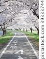 cherry blossom, cherry tree, cycling road 39333744