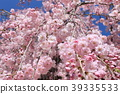 weeping, cherry, blossom 39335533