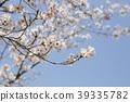 賞櫻 櫻花 櫻 39335782