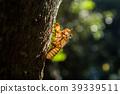 Cicada larvae on an evening tree in Surat Thani  39339511