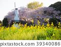 벚꽃과 풍차와 유채 꽃 39340086