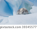 Crabeater seal on ice flow, Antarctica 39345577