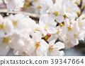 벚꽃 39347664