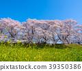 하치만의 背割り 복종의 벚꽃과 유채 꽃 39350386