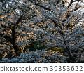 ดอกซากุระบาน,ซากุระบาน,ต้นไม้ 39353622