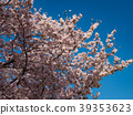 ดอกซากุระบาน,ซากุระบาน,ต้นไม้ 39353623