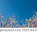 ดอกซากุระบาน,ซากุระบาน,ต้นไม้ 39353624