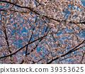 ดอกซากุระบาน,ซากุระบาน,ต้นไม้ 39353625