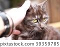 고양이, 만지다, 손을 대다 39359785