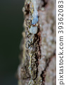 Many drops of resin on a tree trunk 39362083