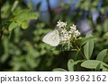 A white butterfly hangs on a flower 39362162